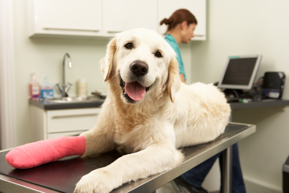 Pet surgery in San Jose